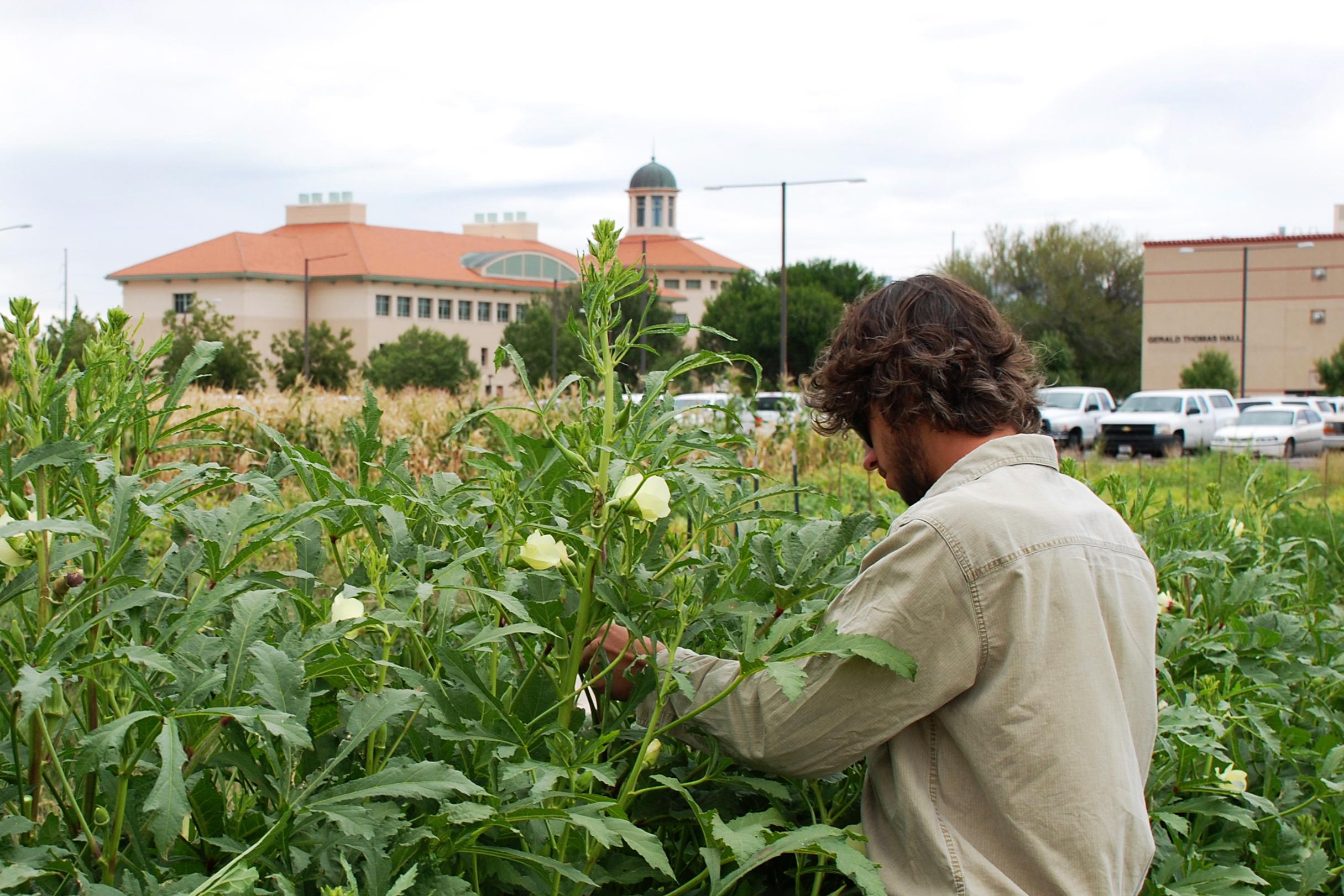 como plantar quiabo orgânico : como cuidar de quiabo orgânico