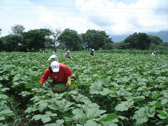 como plantar quiabo orgânico : mês de plantio do quiabo
