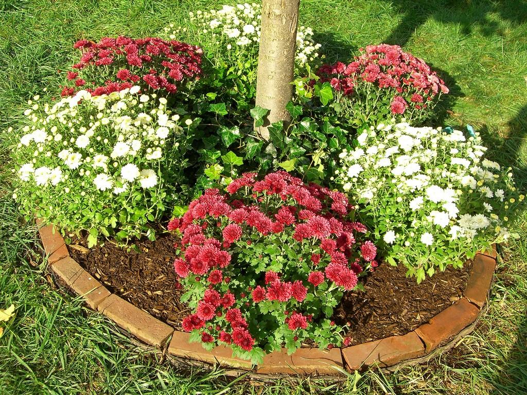 como cultivar crisântemo : como cultivar crisântemos em jardim