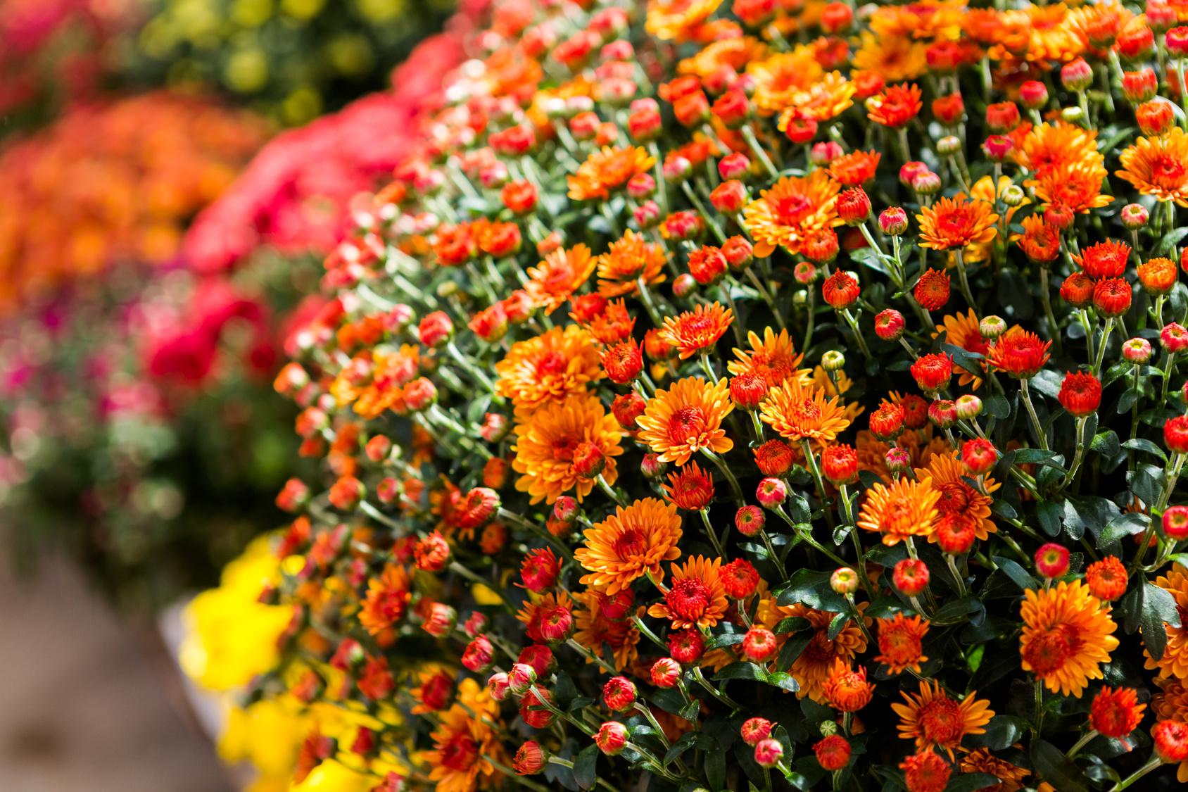 como cultivar crisântemo : como plantar crisântemos jardim