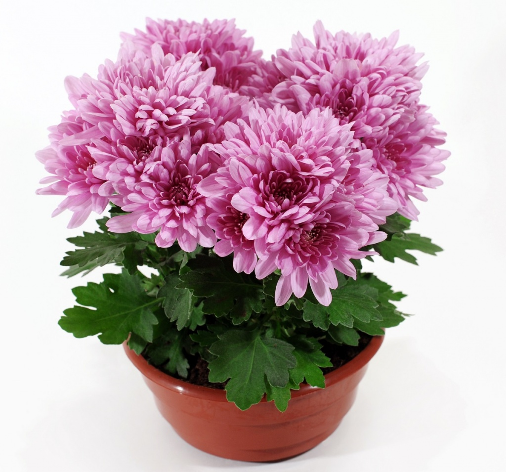 como cultivar crisântemo : planta crisântemo