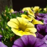 Tudo que Você Precisa Saber para Cultivar Petúnias Orgânicas
