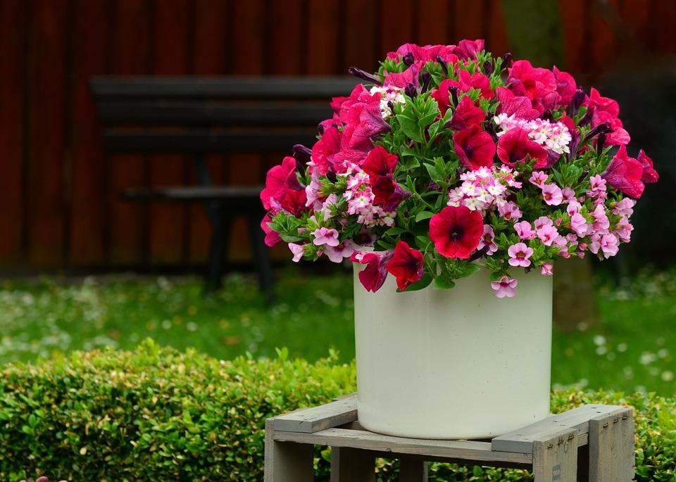 como cultivar petúnias : como plantar petúnia em vaso
