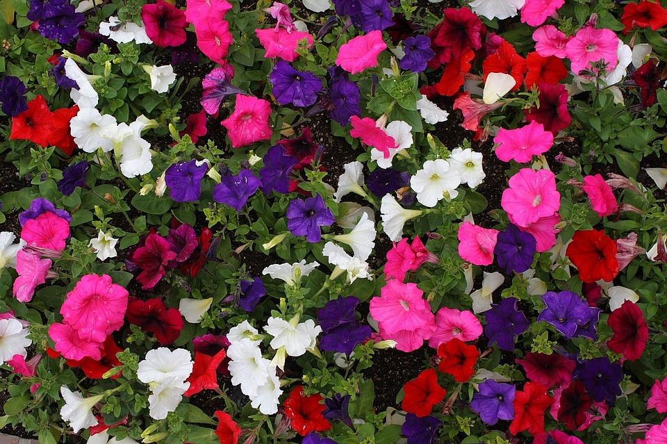como cultivar petúnias: como plantar petúnia