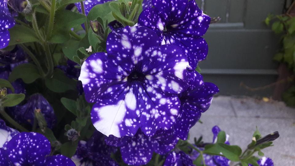 como cultivar petúnias : flor petúnia azul