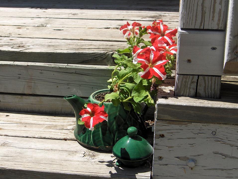 como cultivar petúnias : petúnia planta de sol
