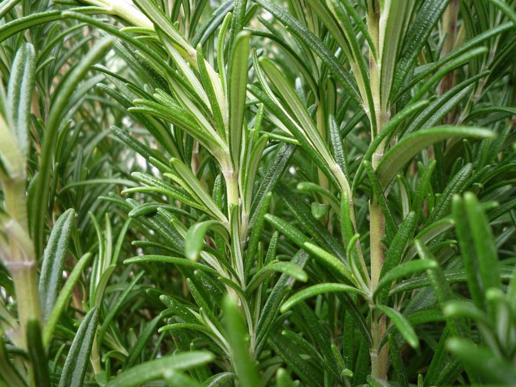 como plantar alecrim orgânico : horta orgânica