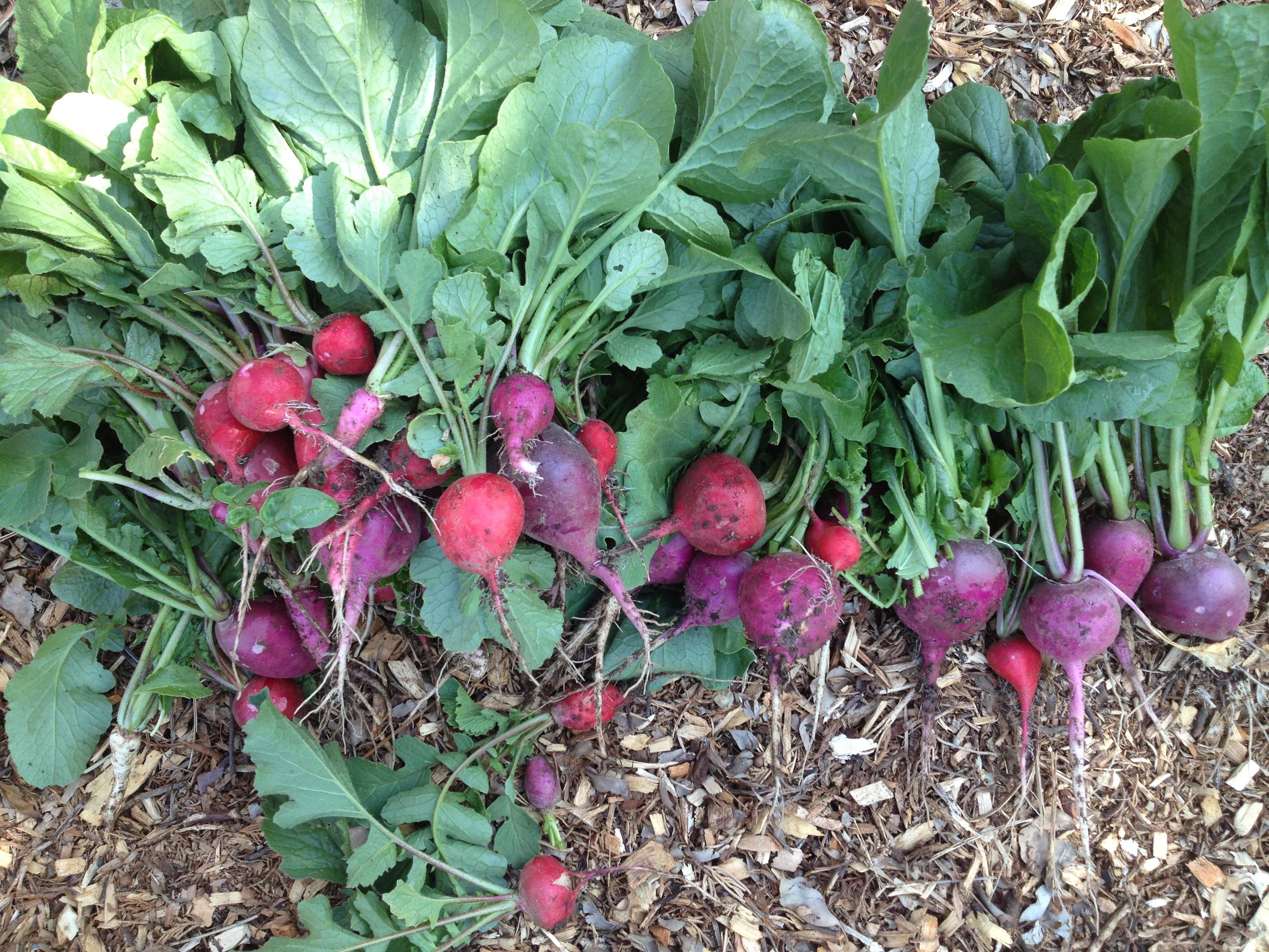 como plantar beterraba orgânica : como plantar beterraba em canteiro
