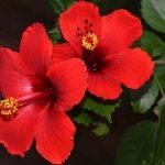 como plantar hibisco