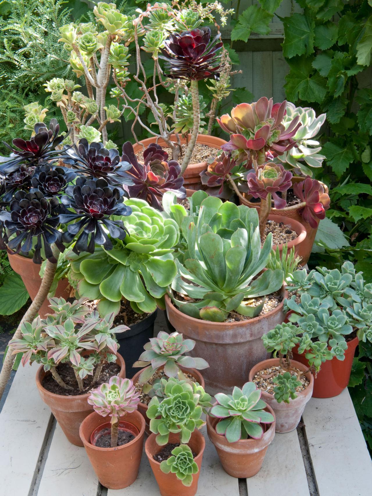 como plantar suculentas orgânicas : planta suculenta