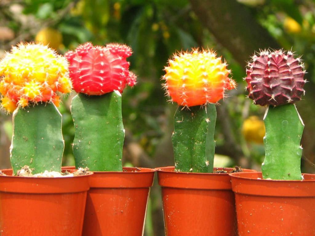 como plantar cactos orgânicos : cactos coloridos