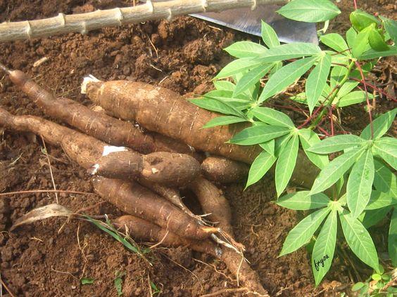 como plantar mandioca orgânica