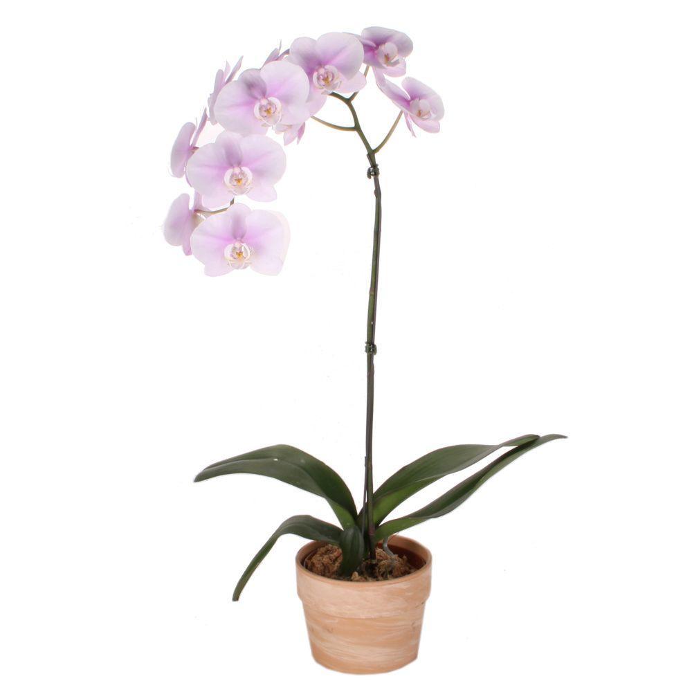 como plantar orquídeas orgânicas : como plantar orquídeas em vaso