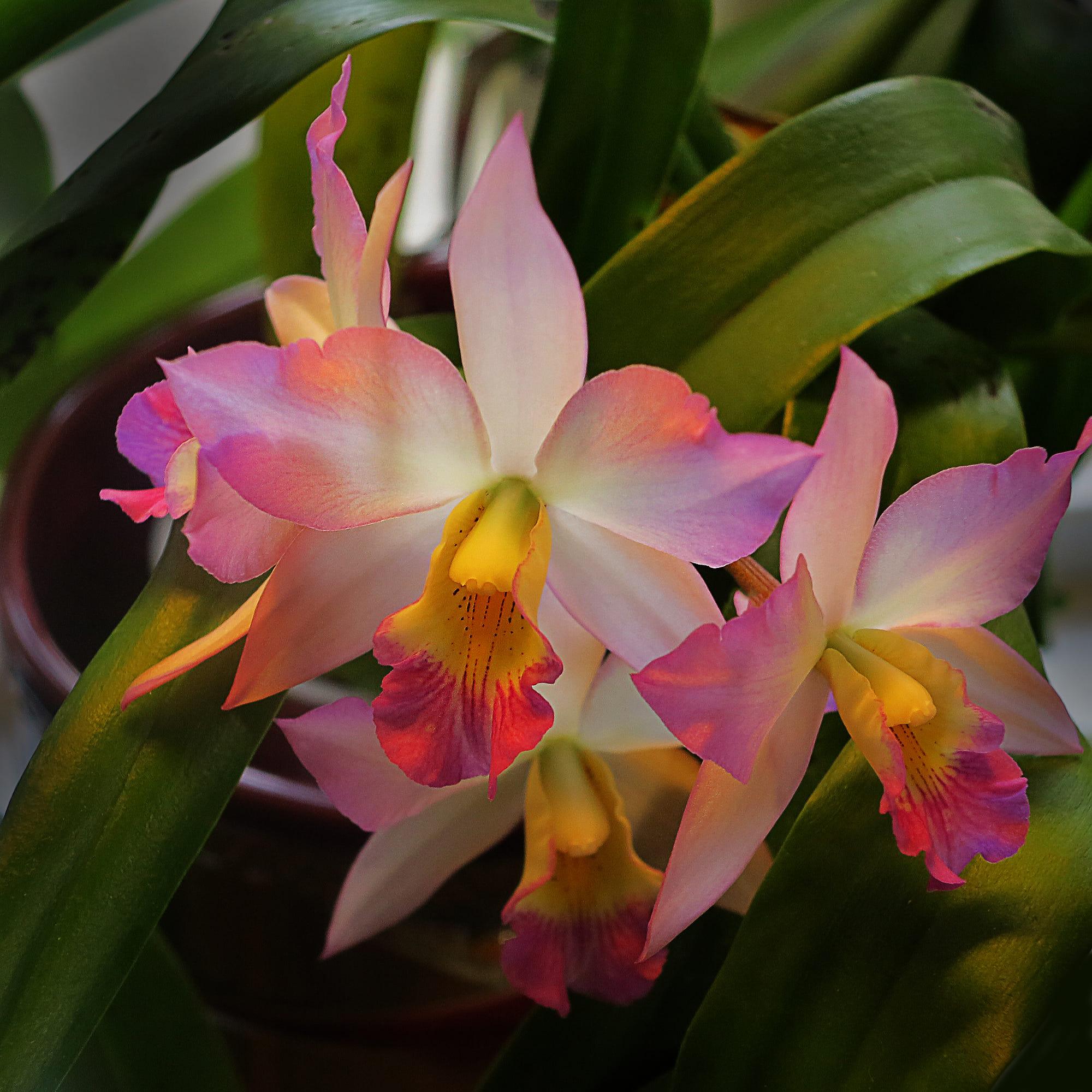 como plantar orquídeas orgânicas : orquídeas