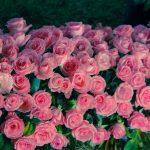Descubra Como Plantar Rosas Orgânicas e Garantir Um Jardim Saudável