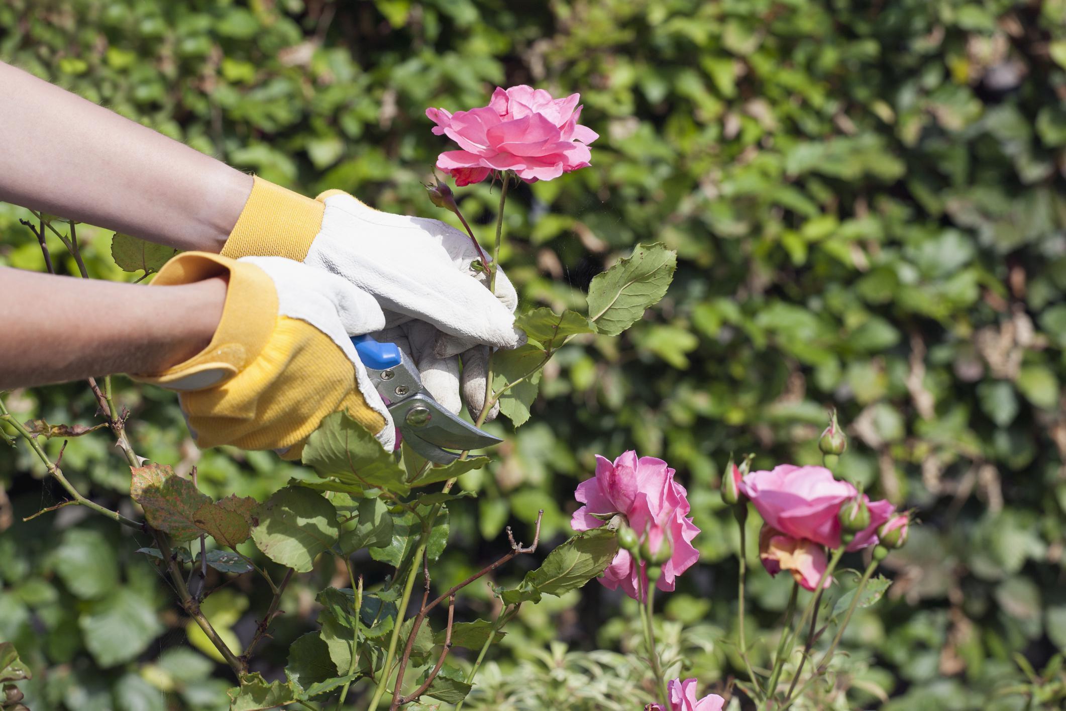 como plantar rosas orgânicas : como podar roseiras