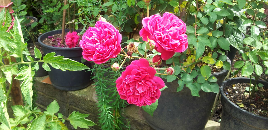 como plantar rosas orgânicas : flor de rosa