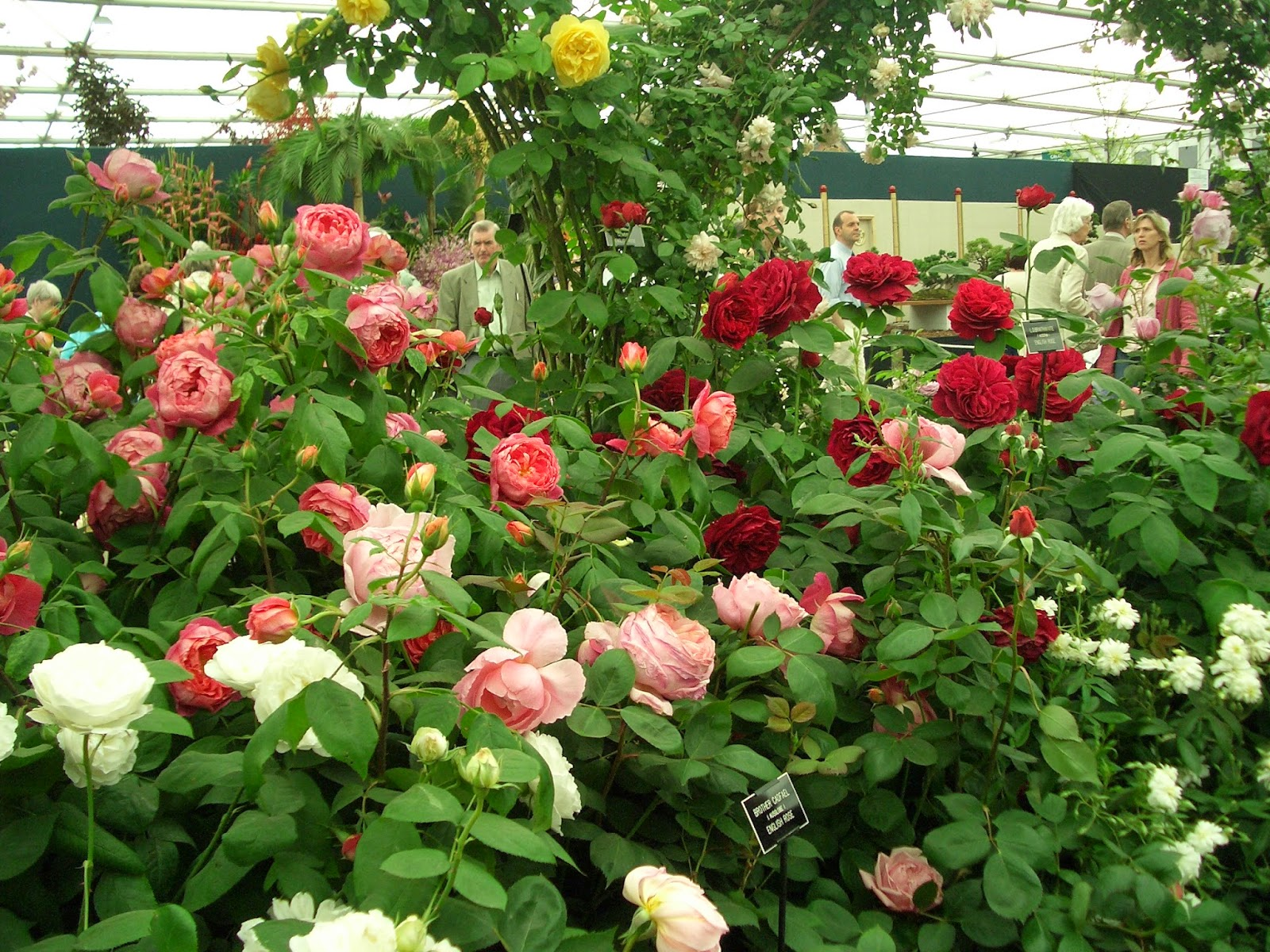 como plantar rosas orgânicas : jardim de rosas