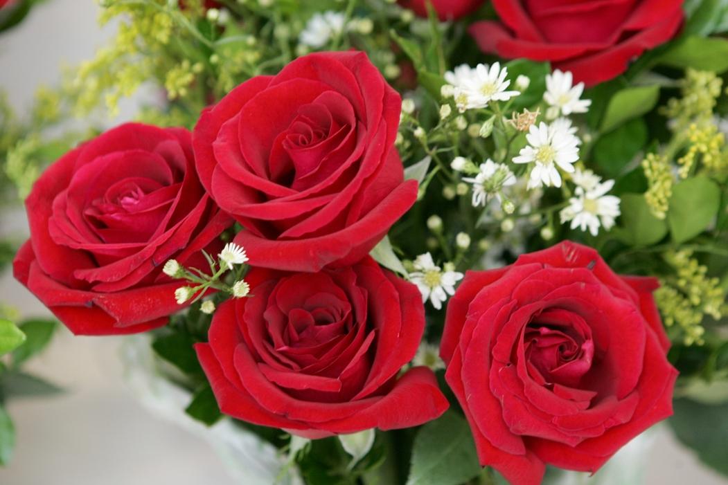 como plantar rosas orgânicas : rosas vermelhas