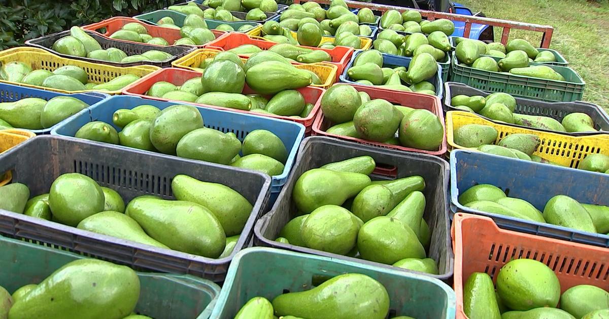 como plantar abacate orgânico : horta orgânica