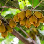 Saiba Como Plantar Kiwi Orgânico e Ter Uma Alimentação Mais Saudável