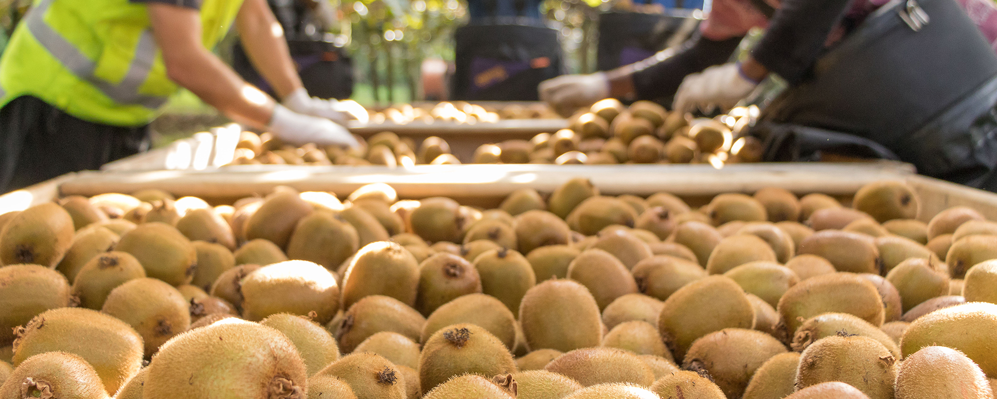 como plantar kiwi orgânico : kiwi