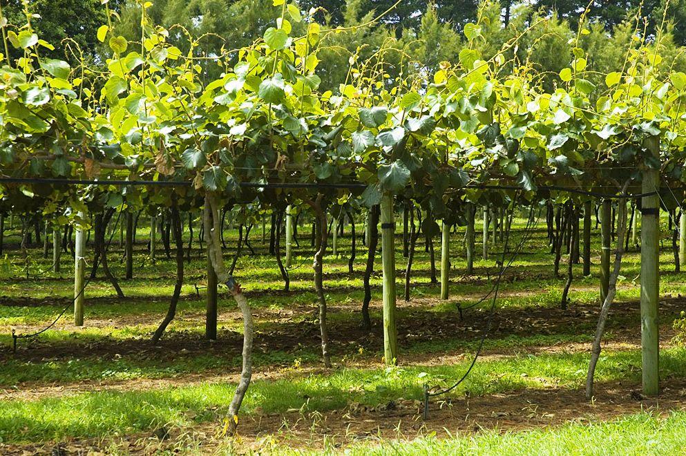 como plantar kiwi orgânico : produção de kiwi
