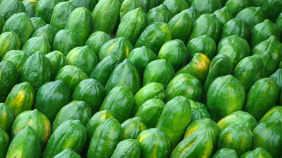 como plantar mamão orgânico : mamão orgânico