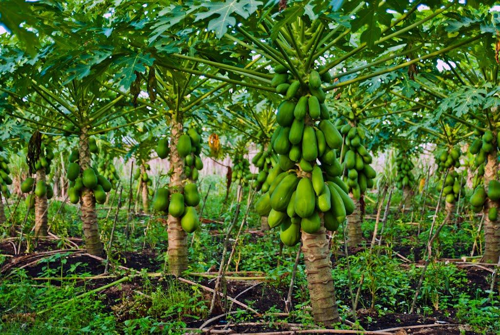 como plantar mamão orgânico : o mamoeiro