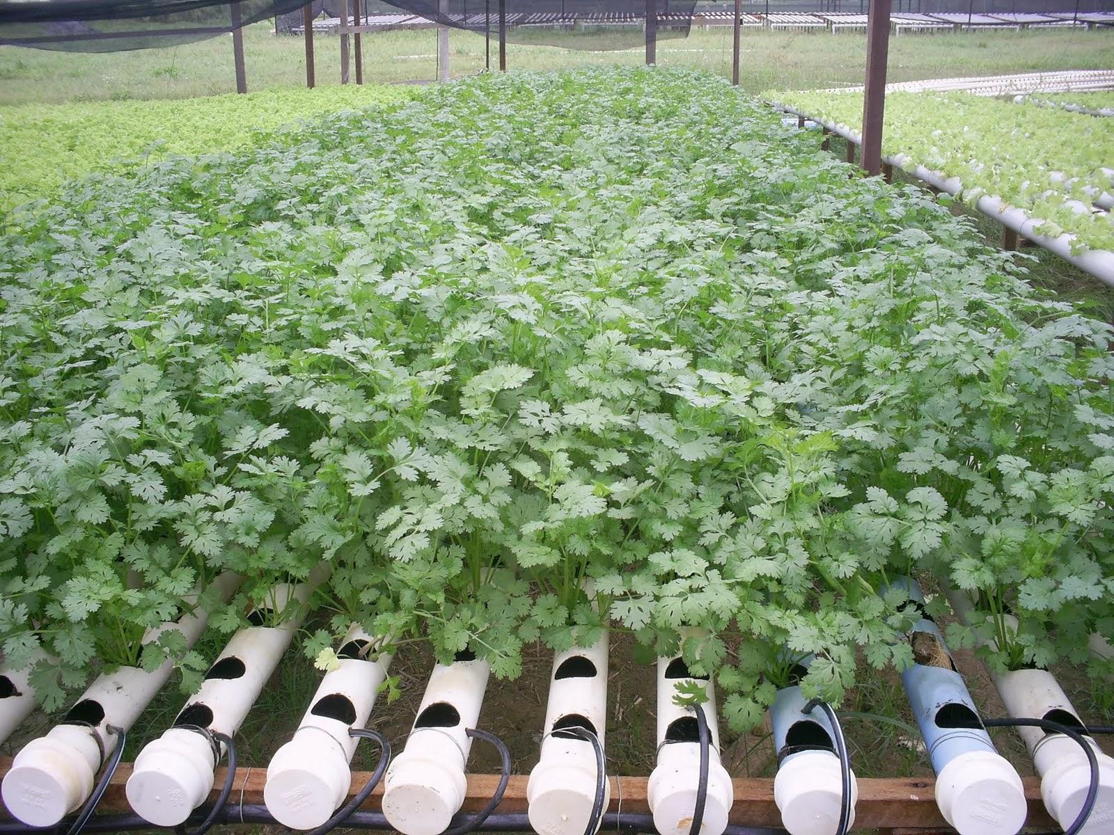 como plantar salsinha orgânica : plantação de salsinha