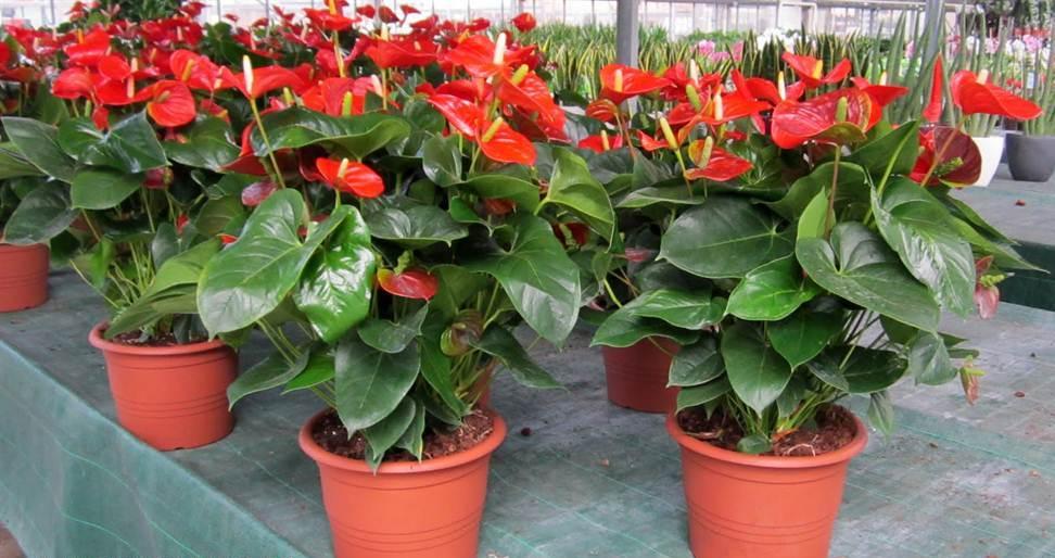 como cultivar antúrio orgânico : antúrio em vaso