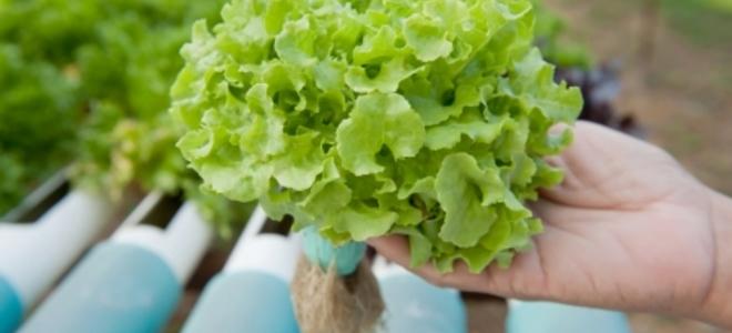 Alface hidropônica : alface nutrientes