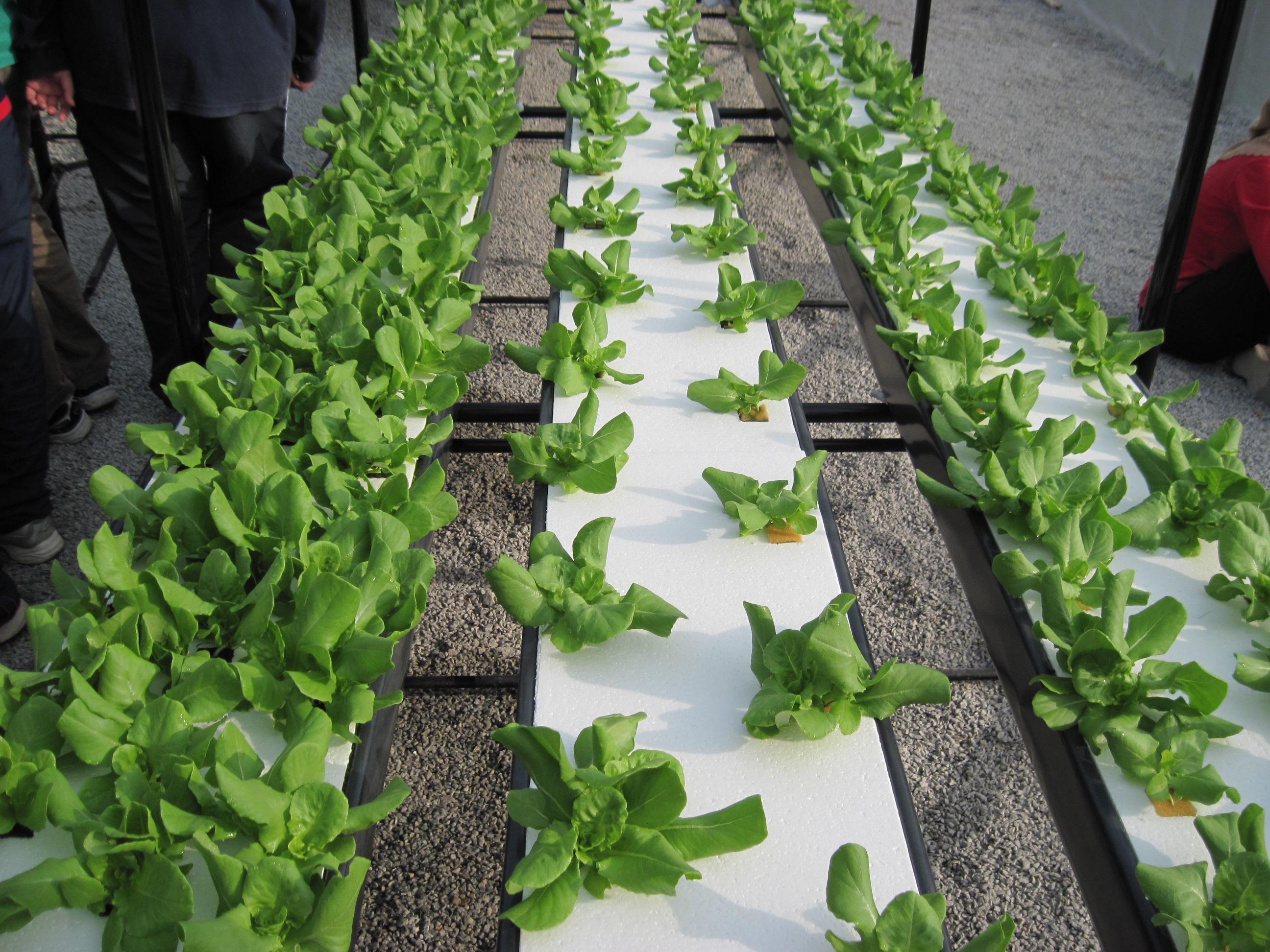 Alface hidropônica : verduras hidropônicas