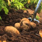 como plantar batata orgânica