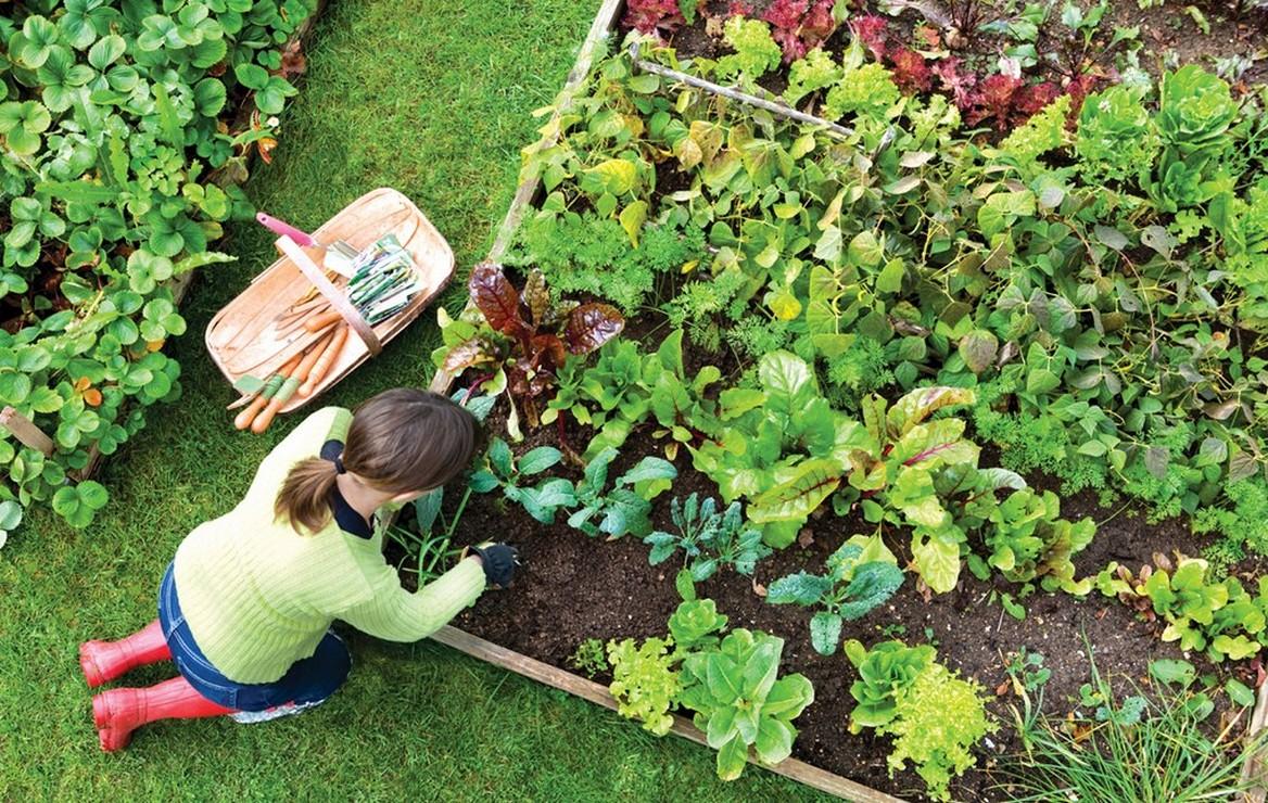como plantar batata orgânica : adubo orgânico para batata