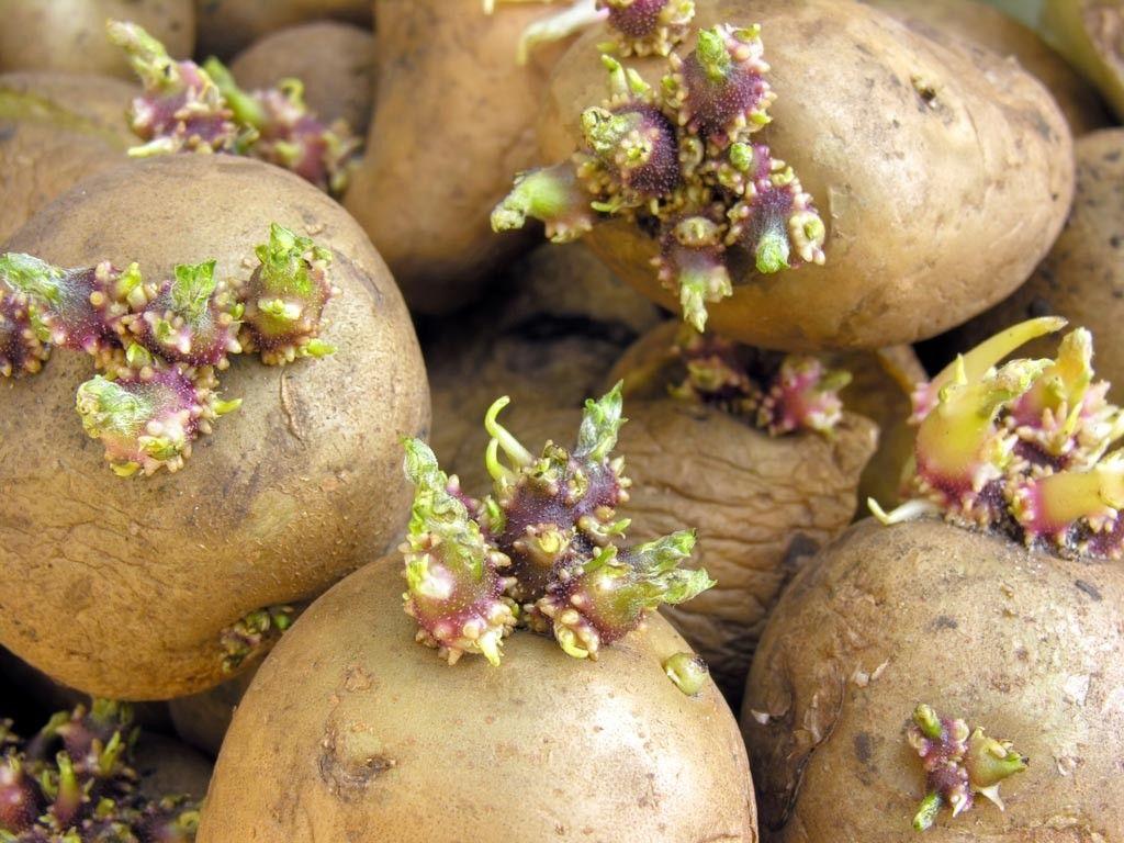 como plantar batata orgânica : batata brotando