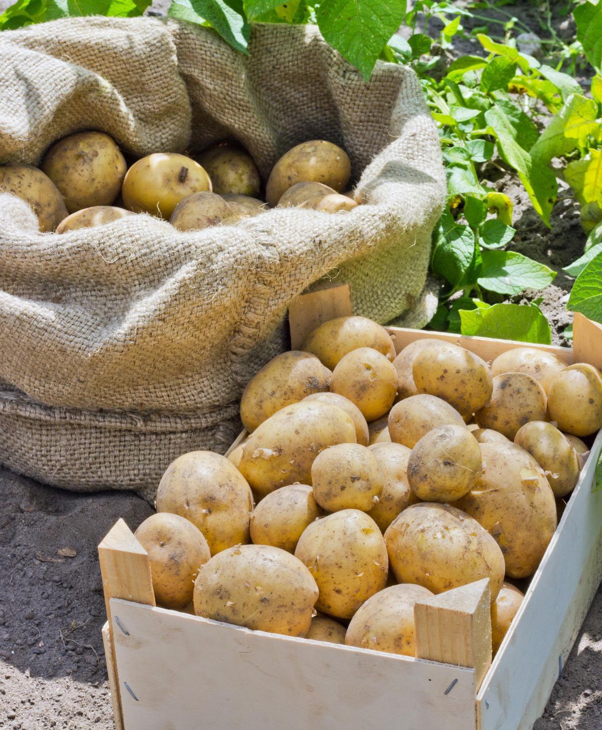 como plantar batata orgânica : batata orgânica