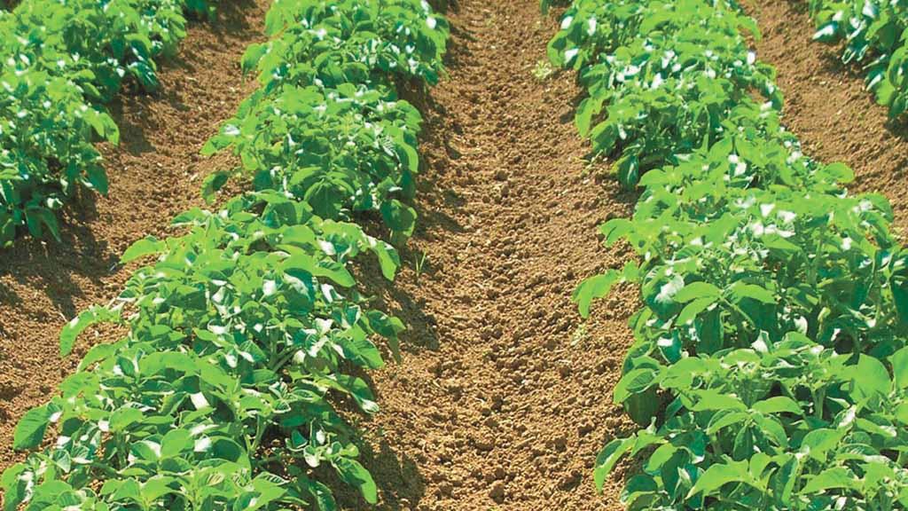 como plantar batata orgânica : produção de batata