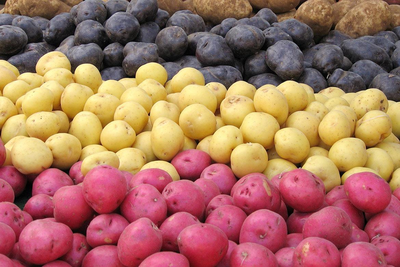 como plantar batata orgânica : variedades de batata
