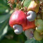 como plantar caju orgânico