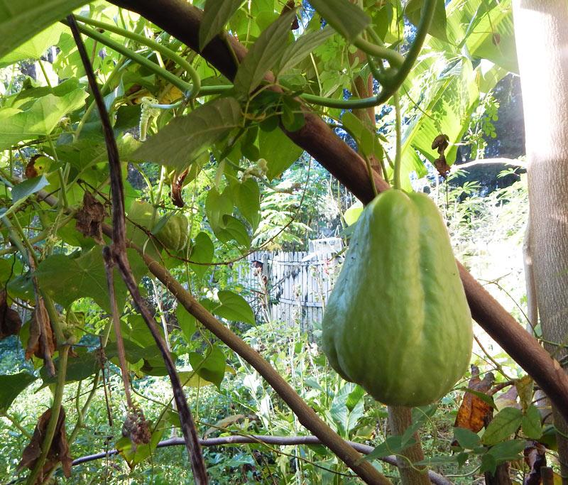 como plantar chuchu orgânico : como plantar chuchu na terra