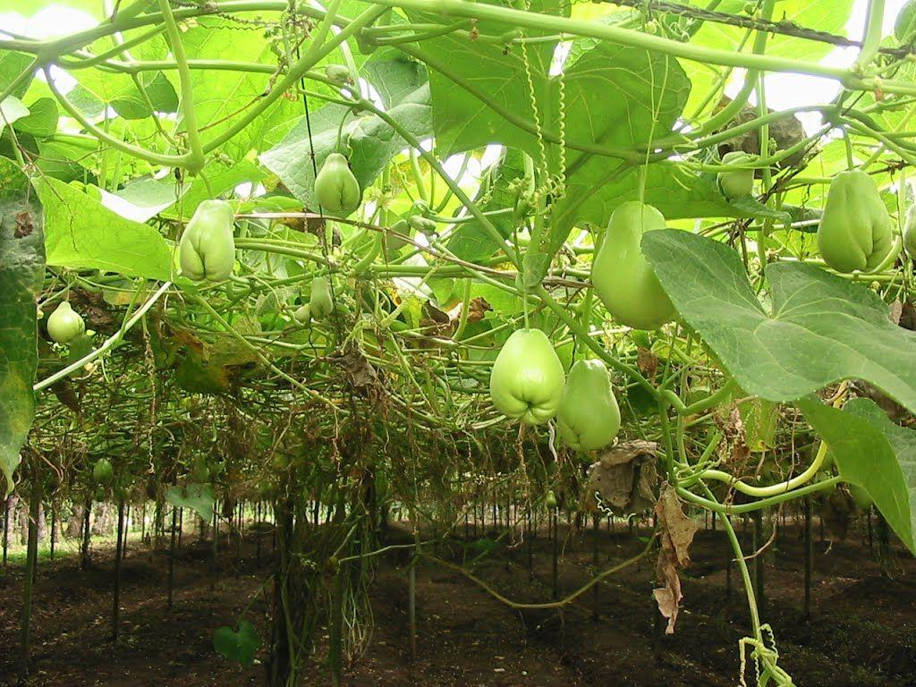 como plantar chuchu orgânico : plantação de chuchu