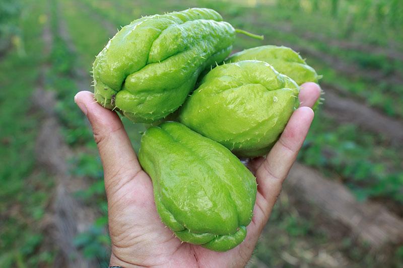 como plantar chuchu orgânico : tipos de chuchu