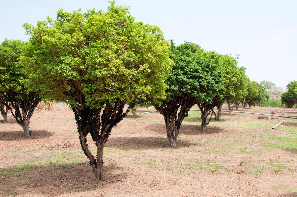como plantar jabuticaba orgânica : como cuidar do pé de jabuticaba