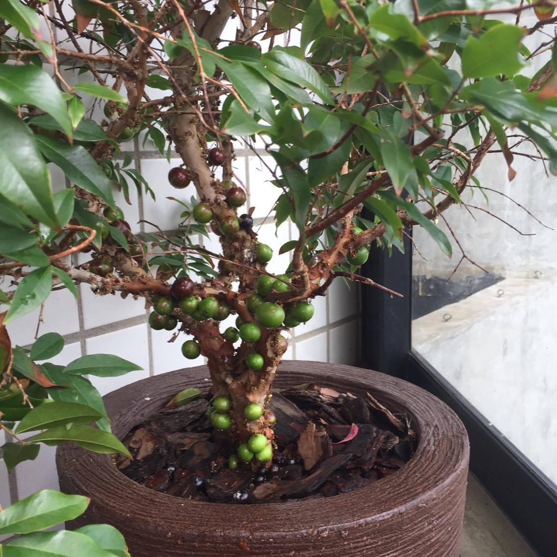 como plantar jabuticaba orgânica : jabuticabeira em vaso