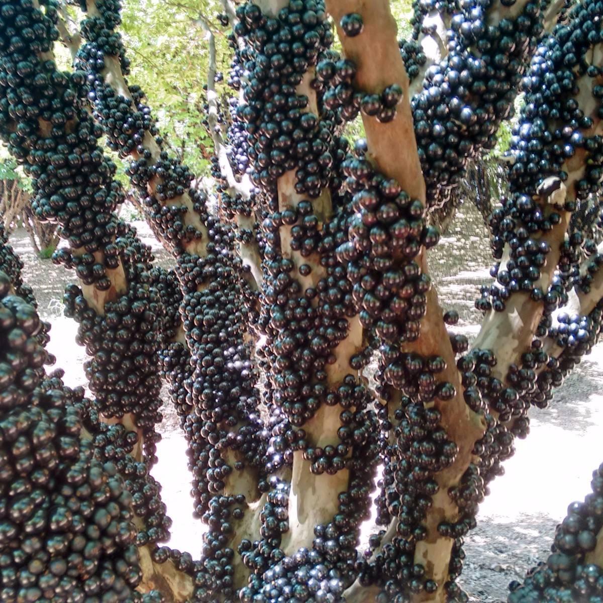 como plantar jabuticaba orgânica