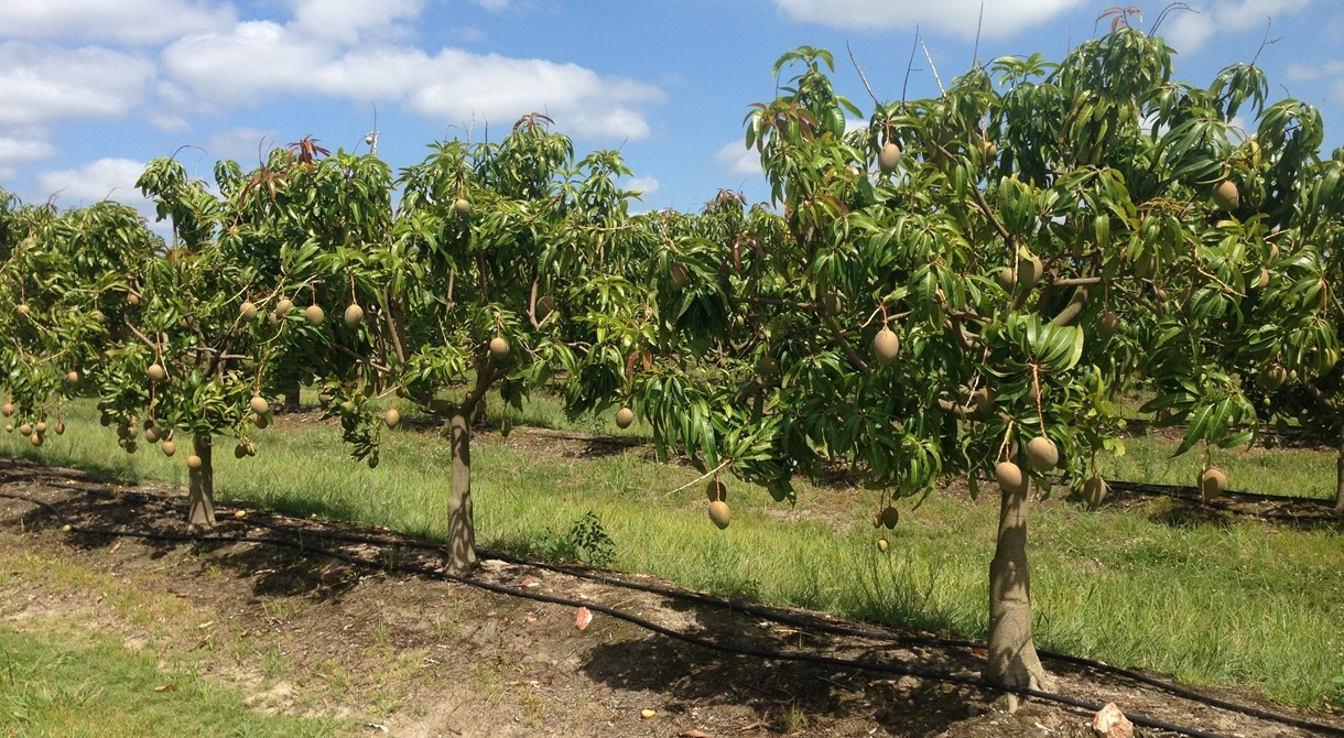 como plantar manga orgânica : árvores frutíferas