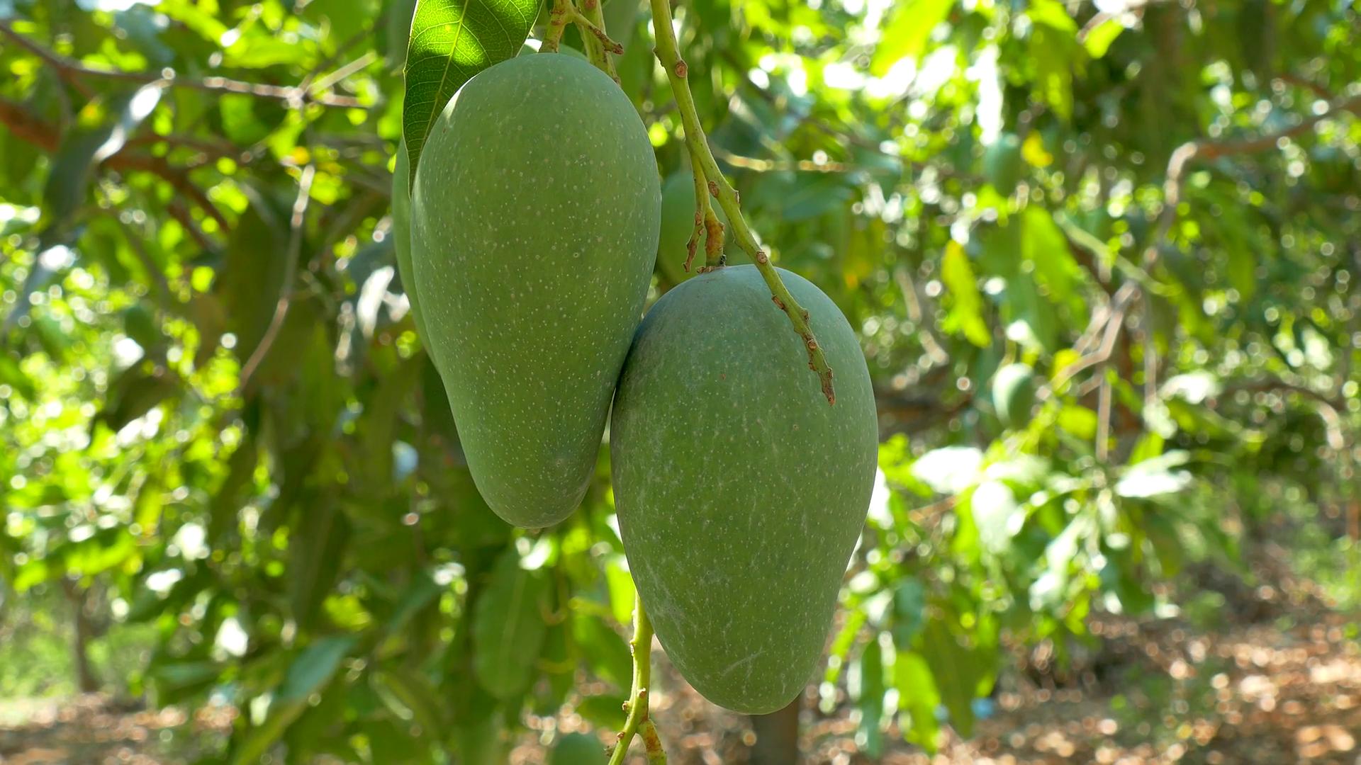 como plantar manga orgânica : frutíferas