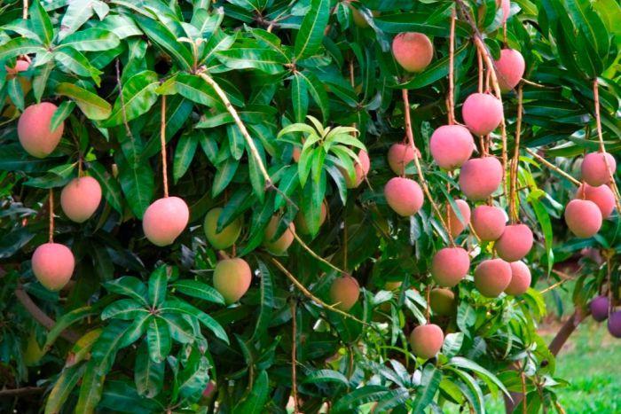 como plantar manga orgânica : mangueira árvore