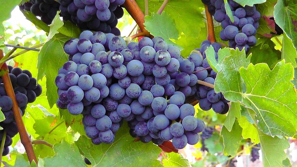 como plantar uva orgânica